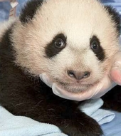 baby panda name chosen in san diego zoo